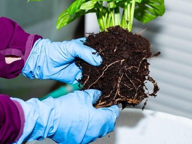 Monstera root rot