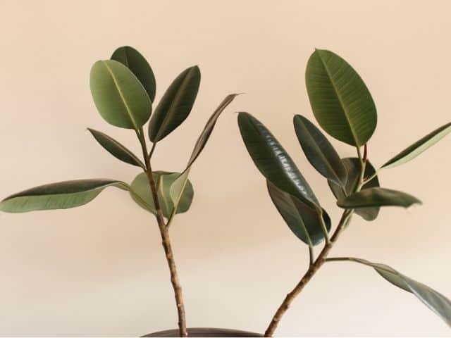 leggy rubber plant