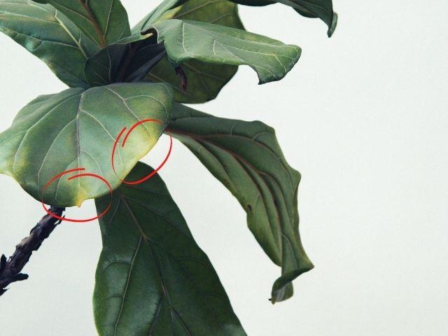 Fiddle leaf fig yellow