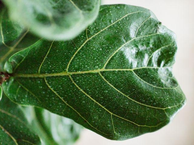 Fiddle leaf fig mist